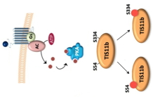 Phosphorylations and assembly of molecular complexes of mRNA degradation