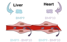 BMP9 and BMP10 pair in the bloodstream